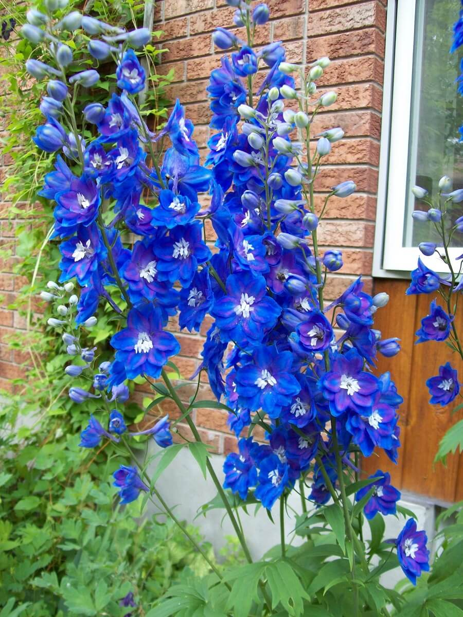delphiniums in full bloom