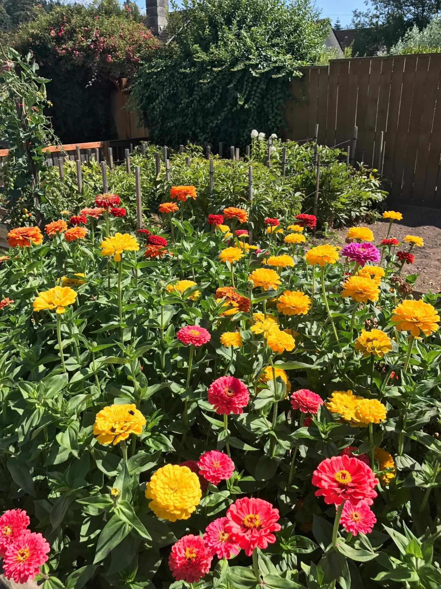 zinnia garden bed