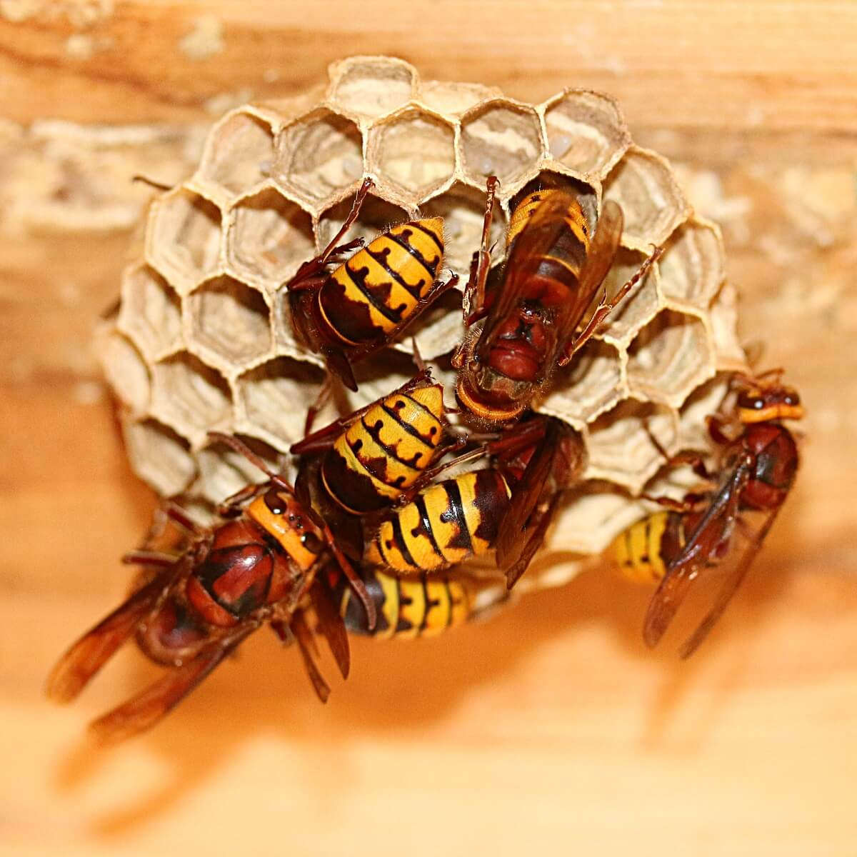 early stages of hornets nest