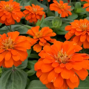 orange zinnia flowers