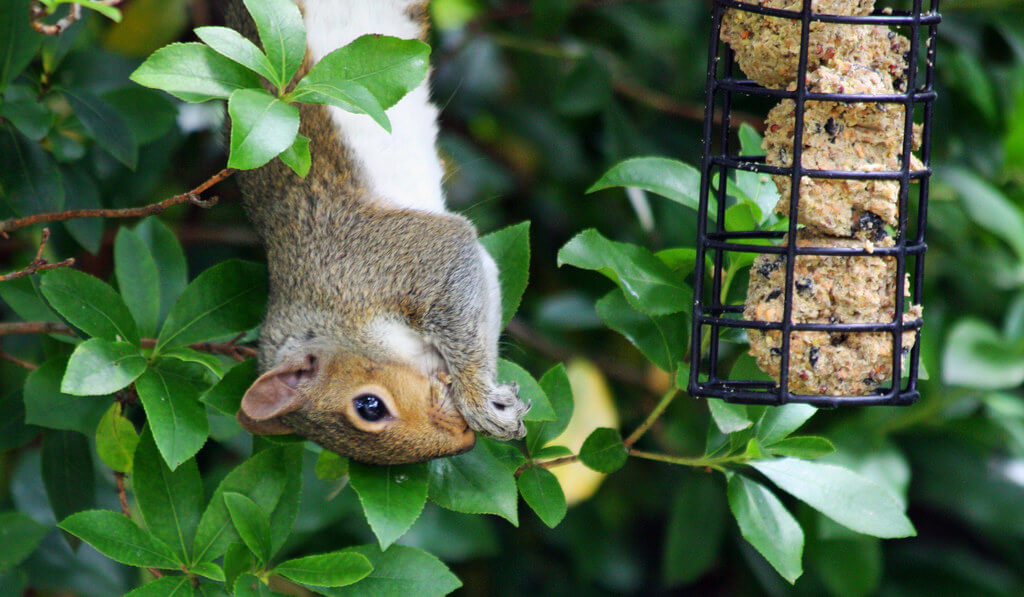 squirrel eating from feeder