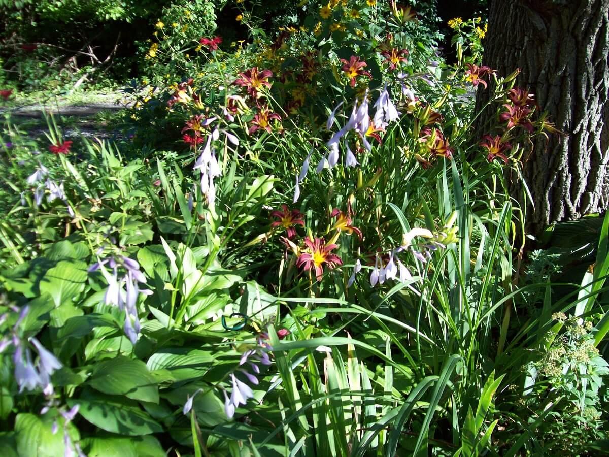 hostas flowering