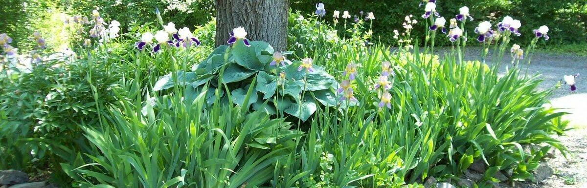 hostas in garden