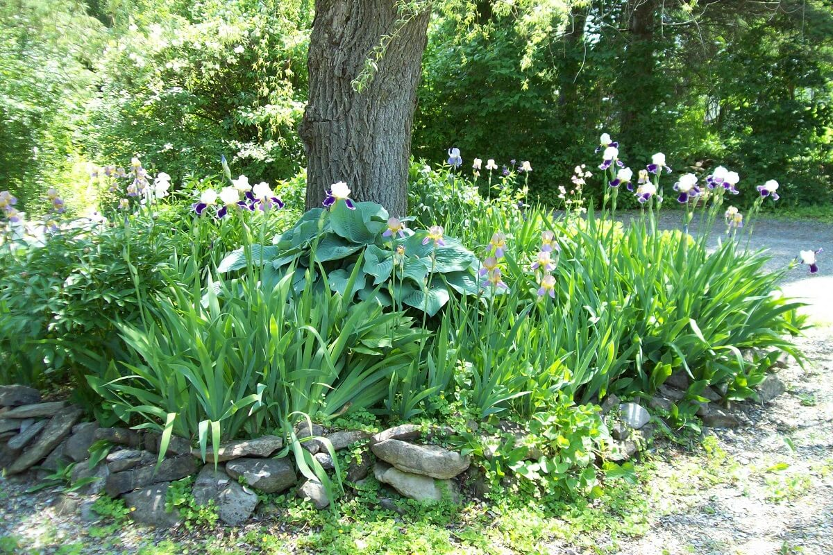 The Hosta Plant • Insteading on and hosta flower bed, hosta garden ideas around large tree, hosta garden design,