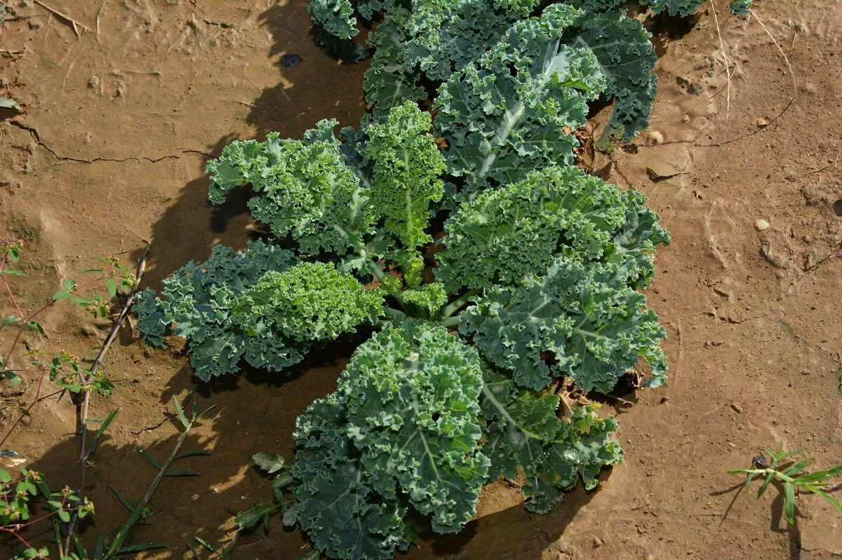 kale growing