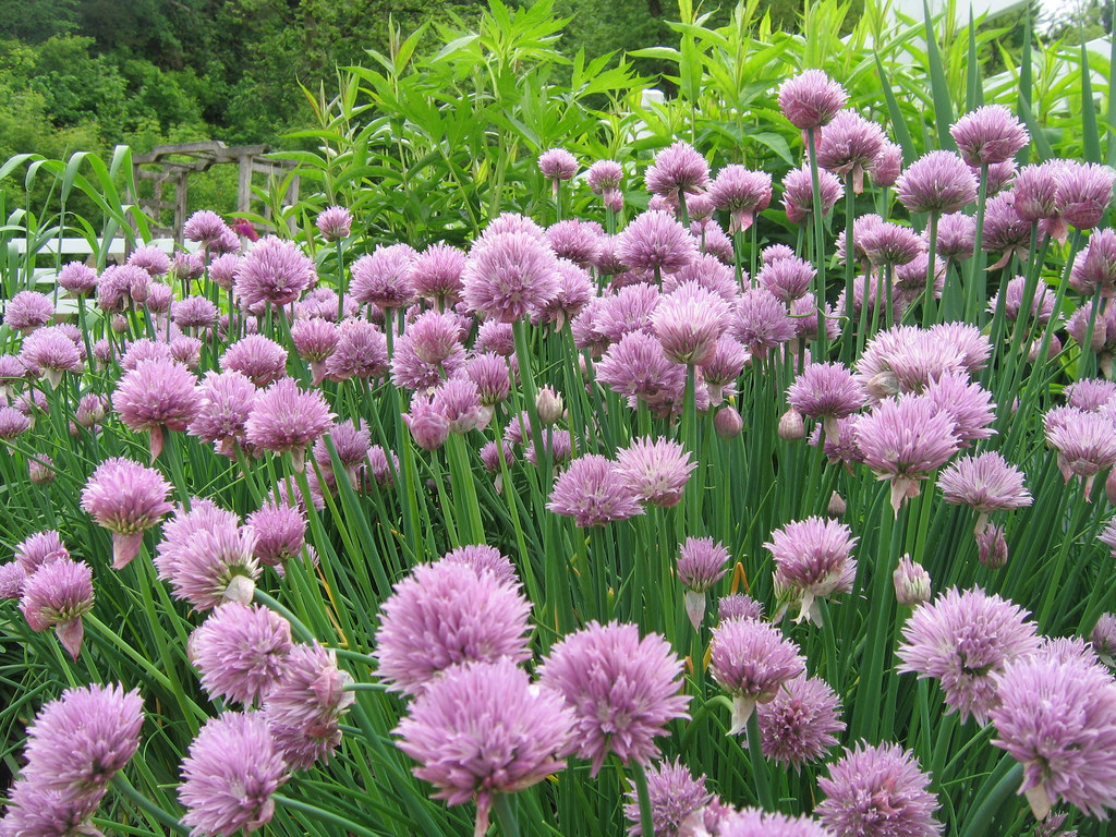 perennial chives