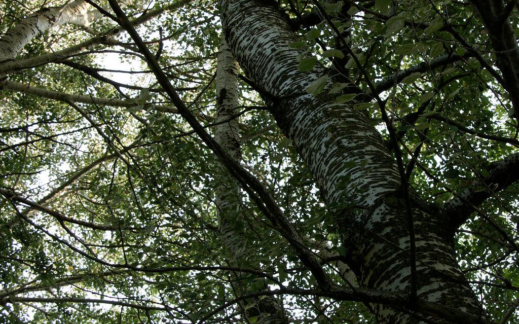 poplar tree bark