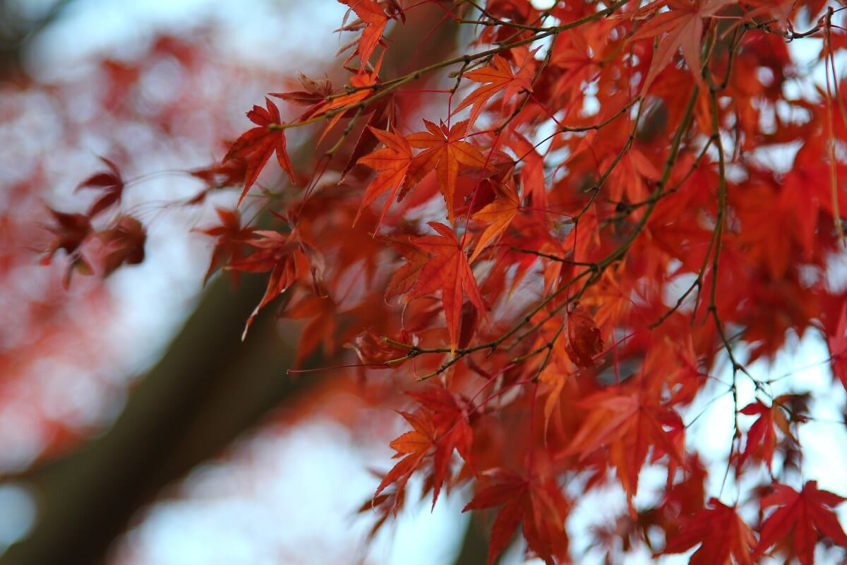 red maple leaves up close