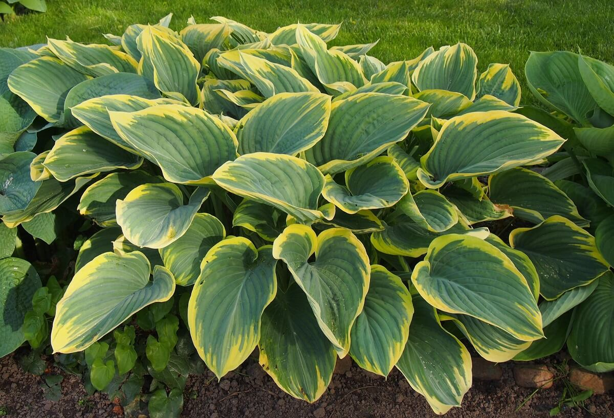 The Hosta Plant Insteading