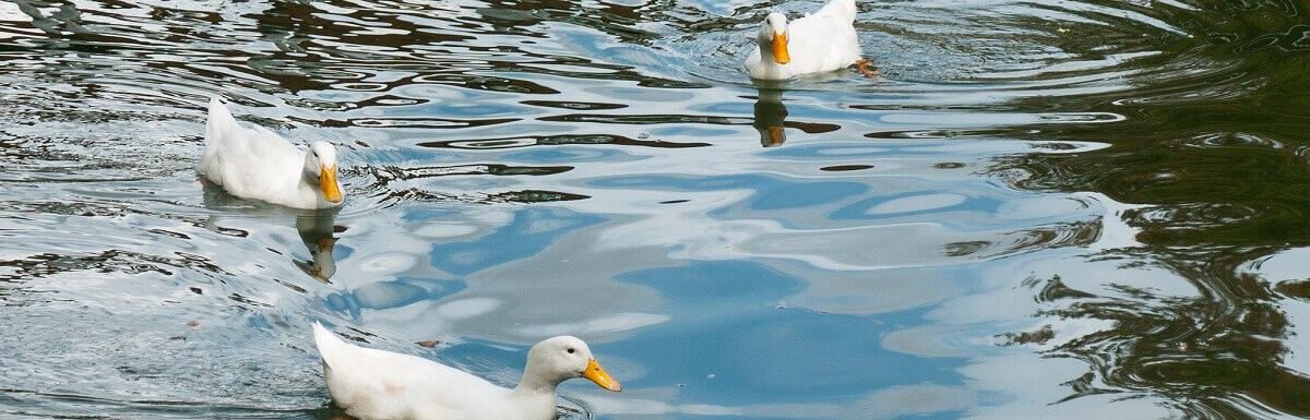 pekin ducks in water