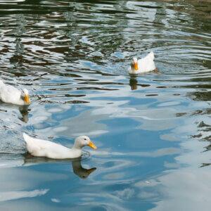 pekin ducks in water
