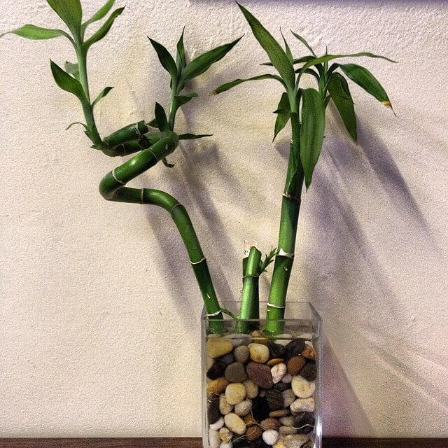 lucky bamboo in water and rocks