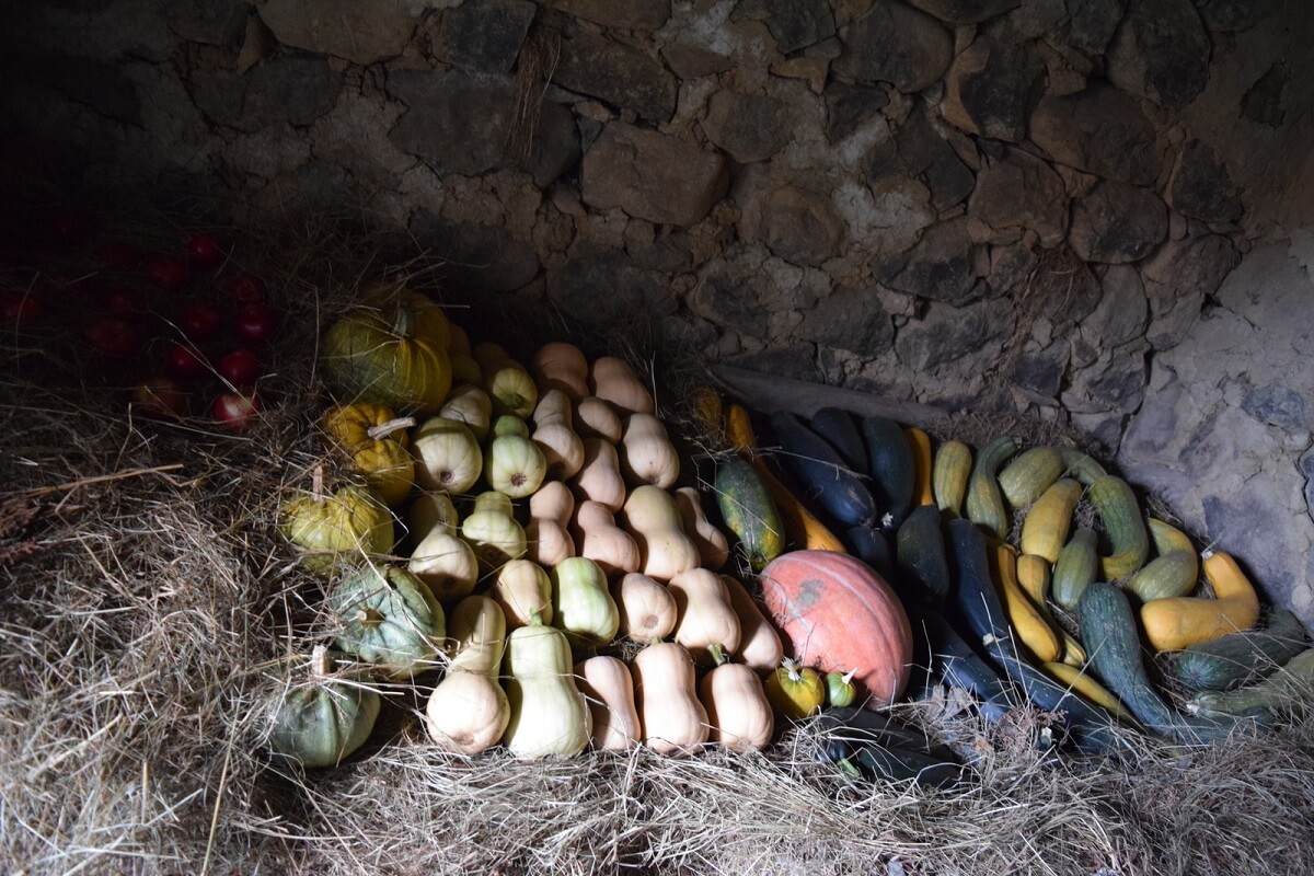 no dig squash harvest in the cellar
