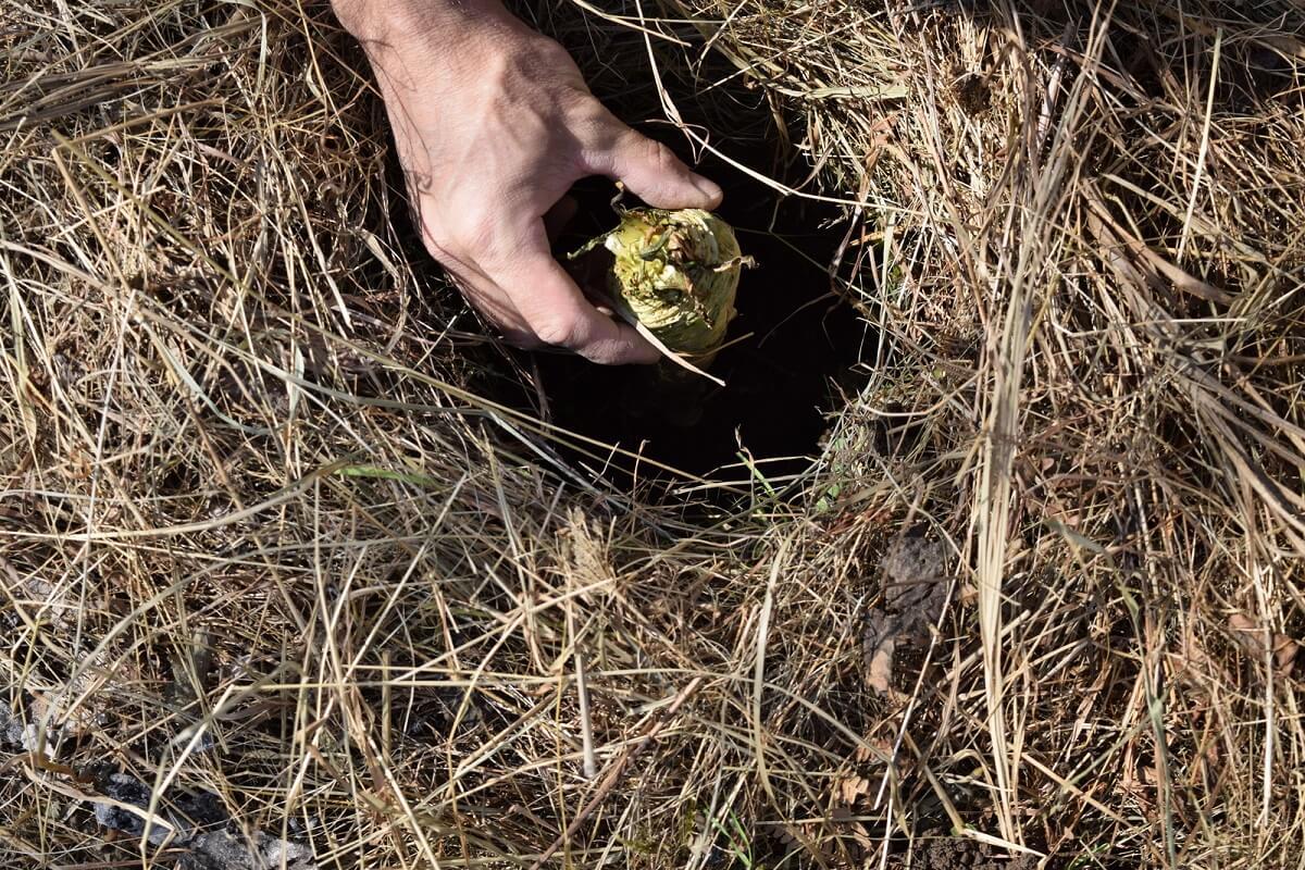 planting horseradish