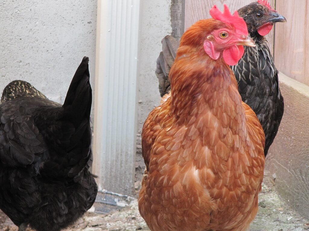 new hampshire chicken