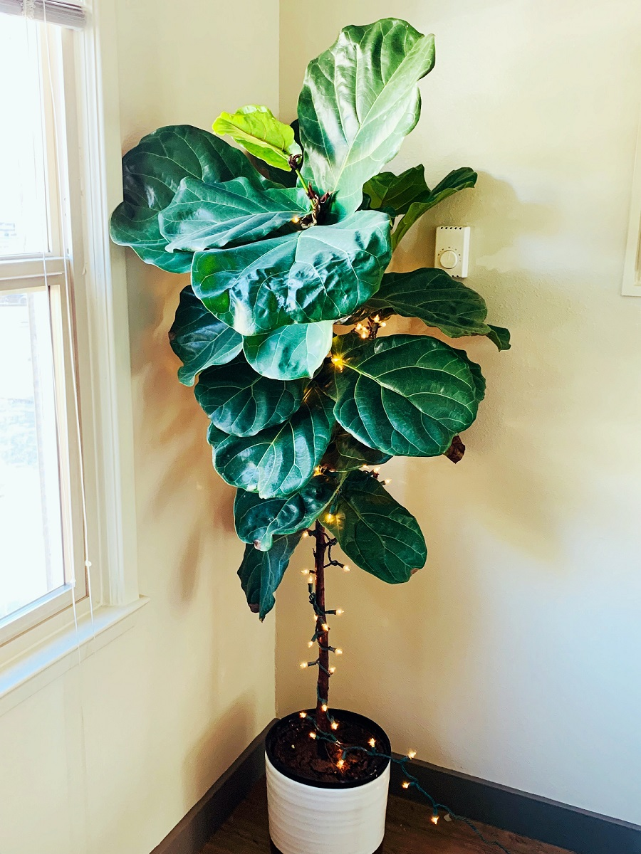 alyssa's fiddle fig leaf