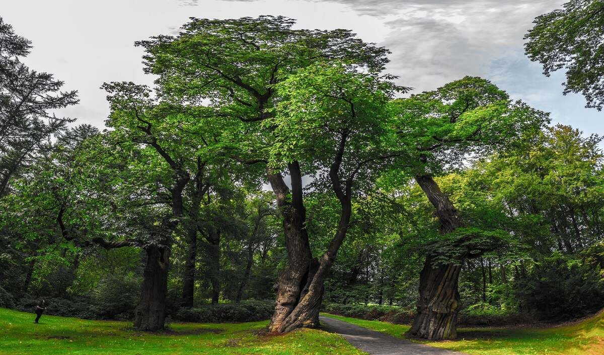 ancient chestnut trees