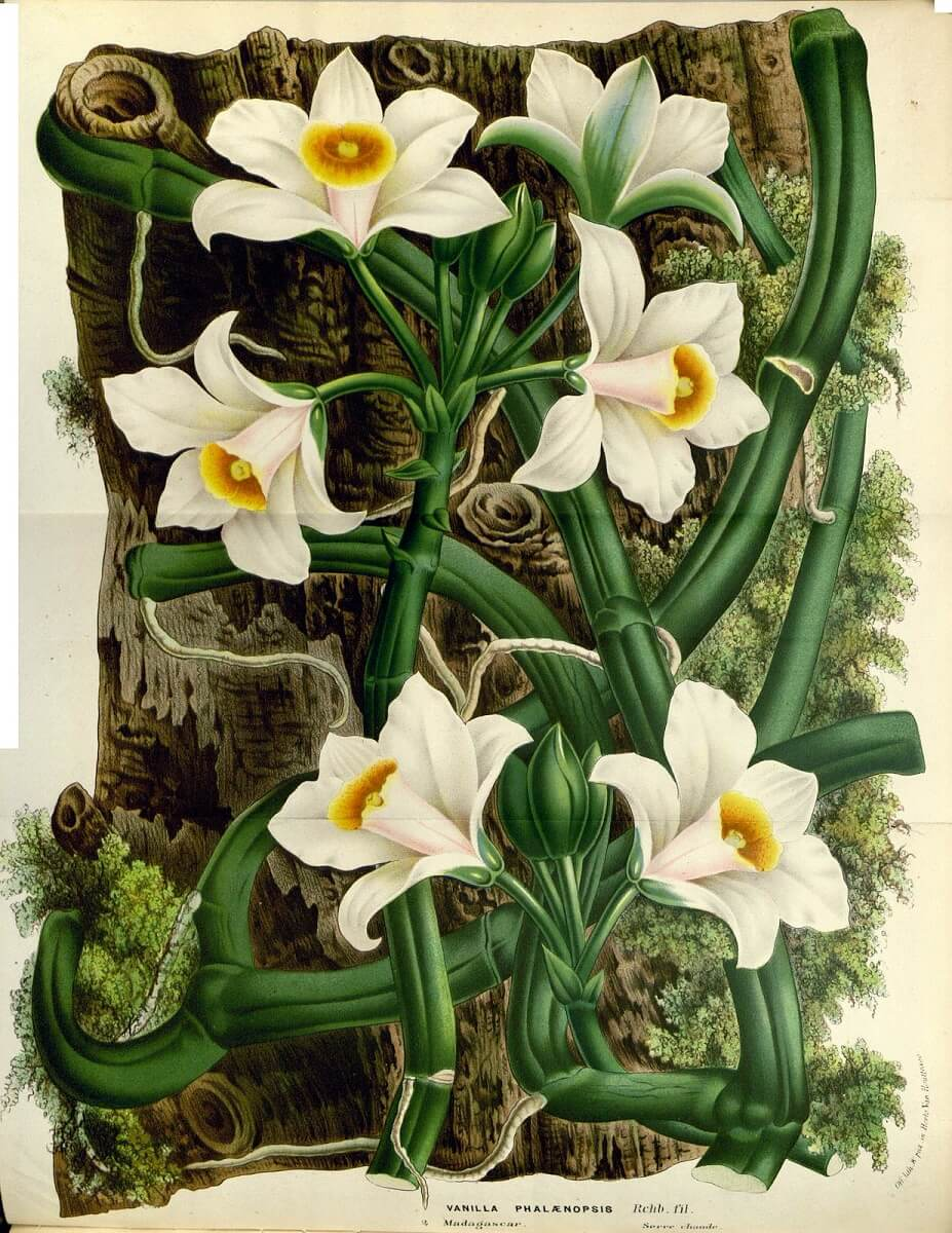 botanical art of vanilla plant