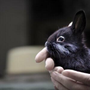 champagen d'argent rabbit in hand