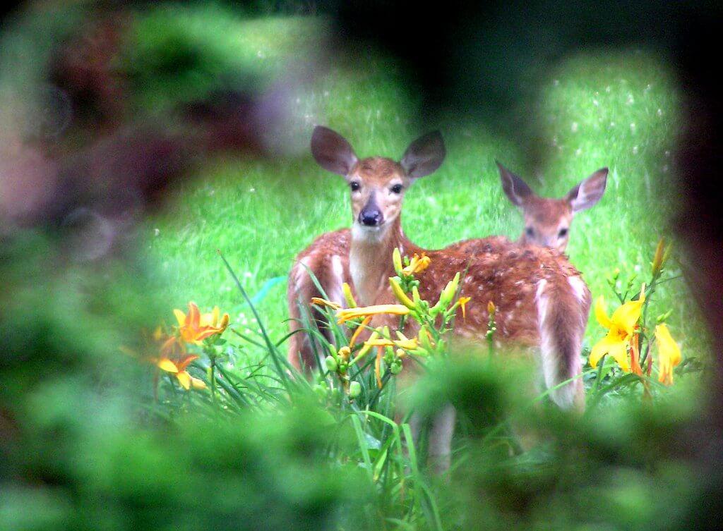 deer-resistant plants and deer