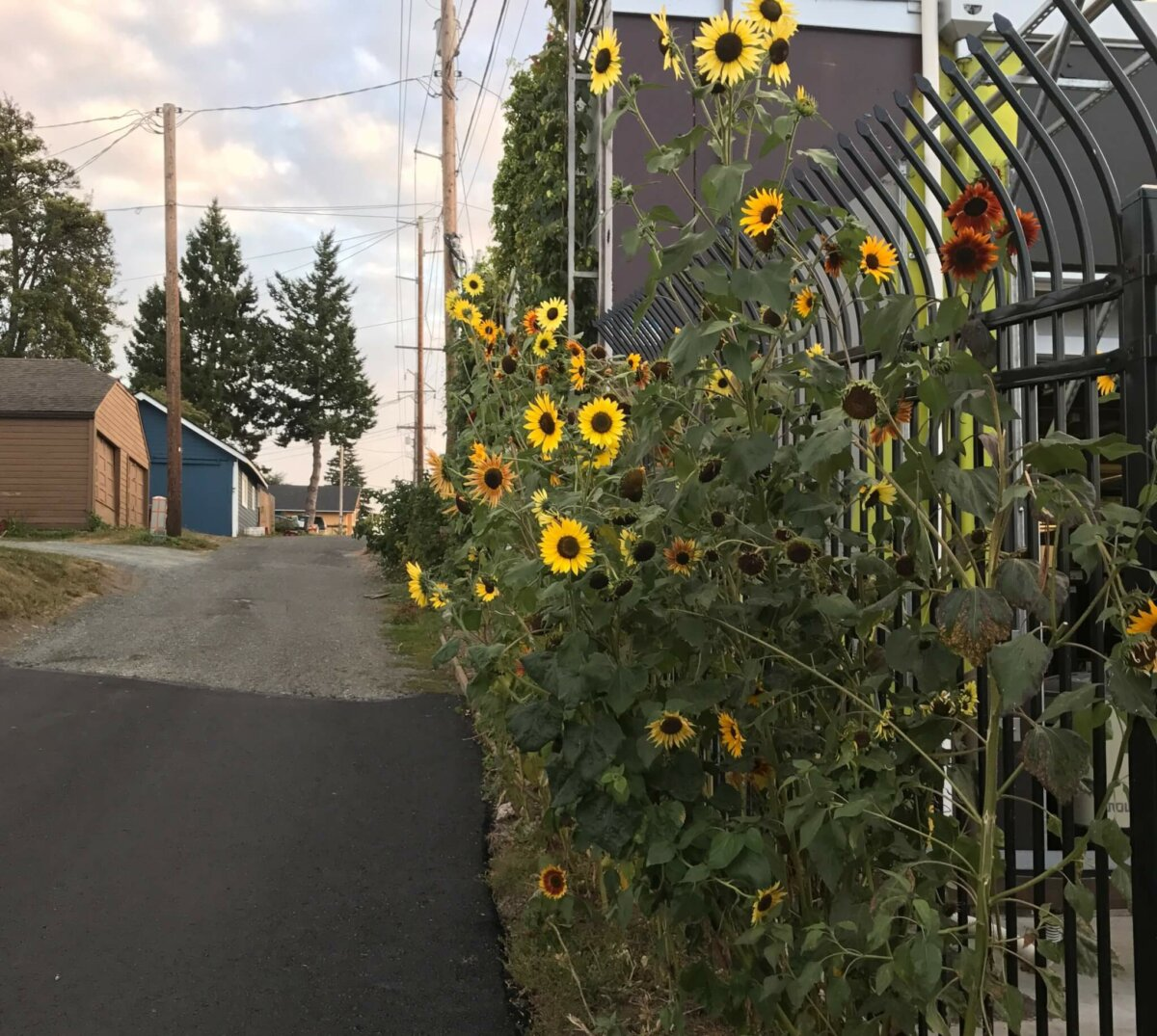 sunflower on fence line
