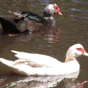 male and female muscovy duck