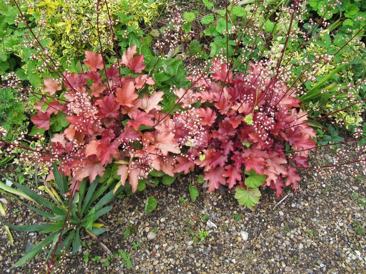 coral bells deer-resistant plants