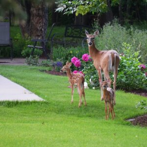 deers in the garden