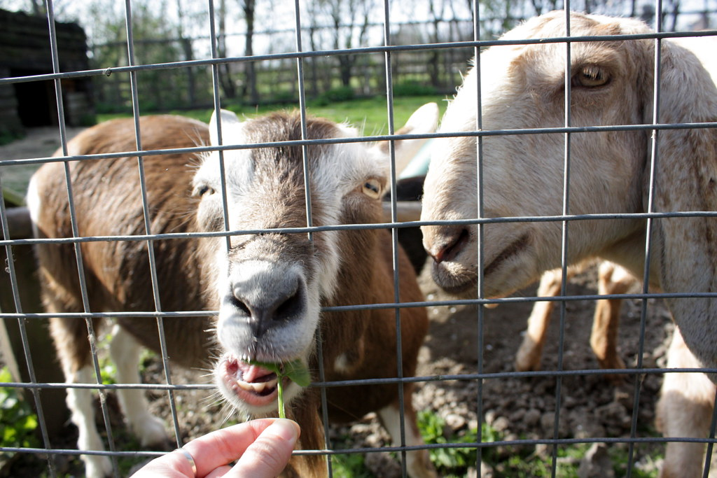 goats eating through fence