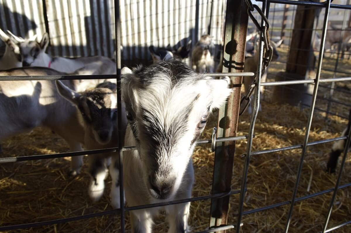 5 Goat Fencing Options And Details To Consider • Insteading