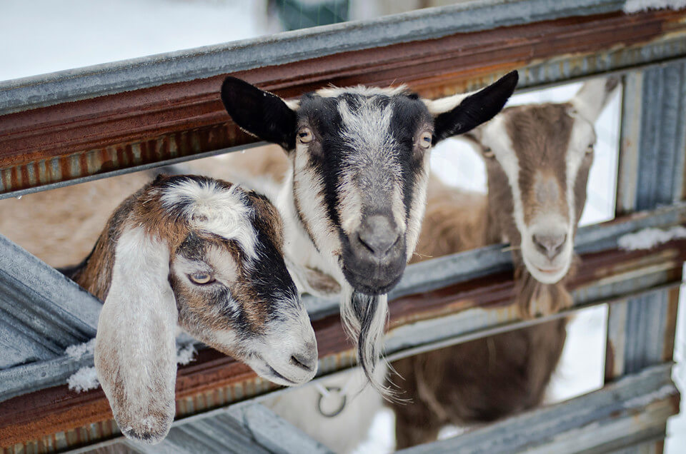 goats and fence