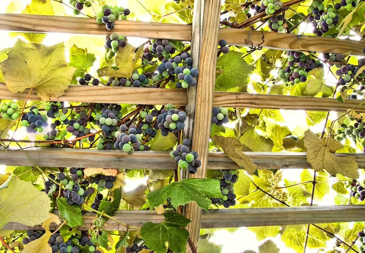 grapes on trellis