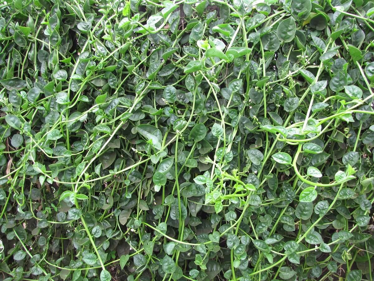 marlabar spinach