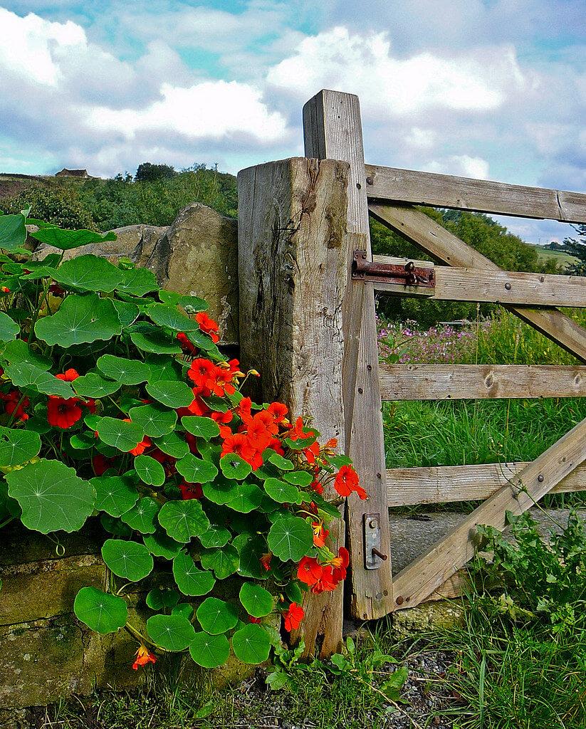 nasturtiums on fence