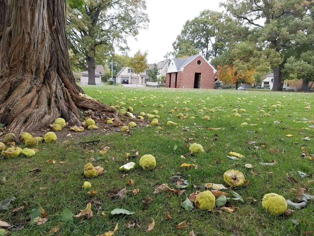osage orange tree and fallen fruit