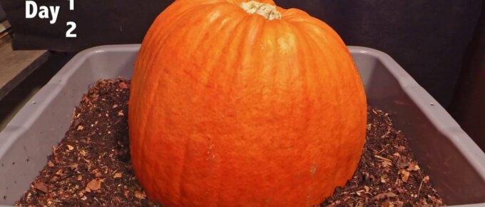 pumpkin timelapse