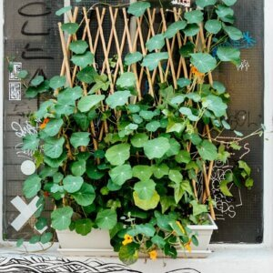 trellis plant on wall