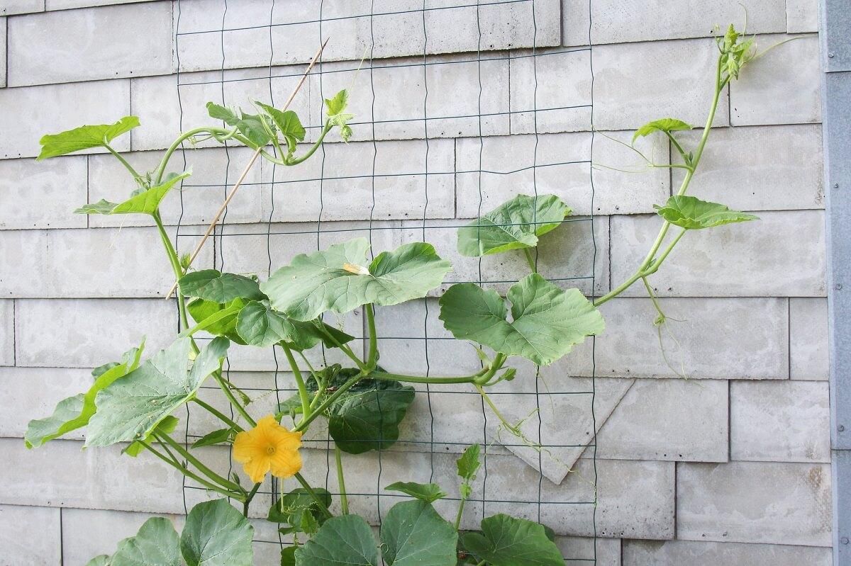 vining summer squash