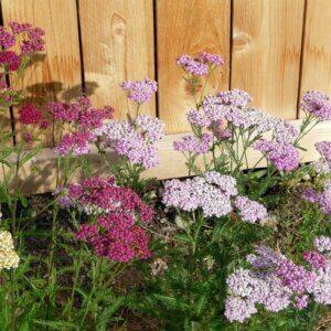 yarrow flower on fence line