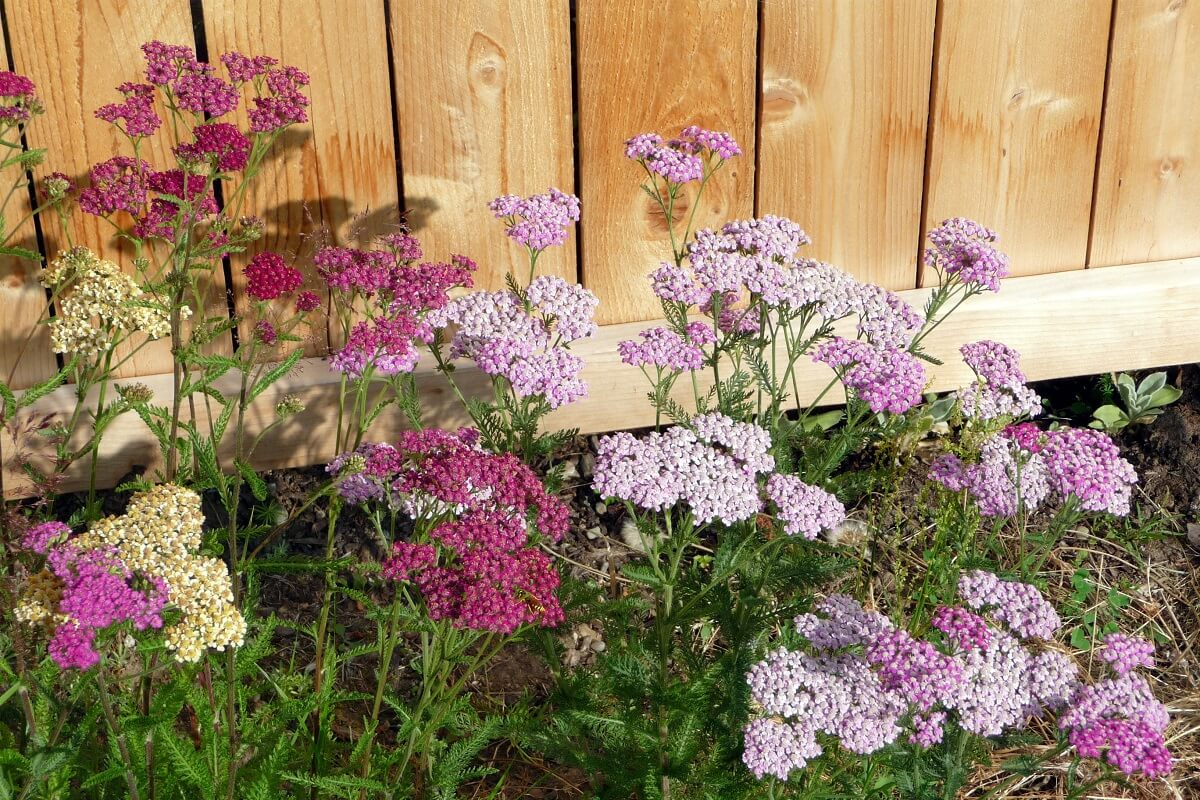 yarrow flower on fence line