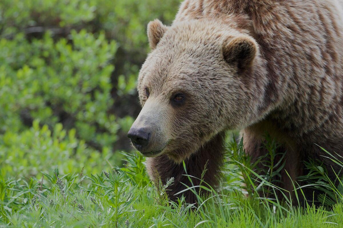 bear roaming