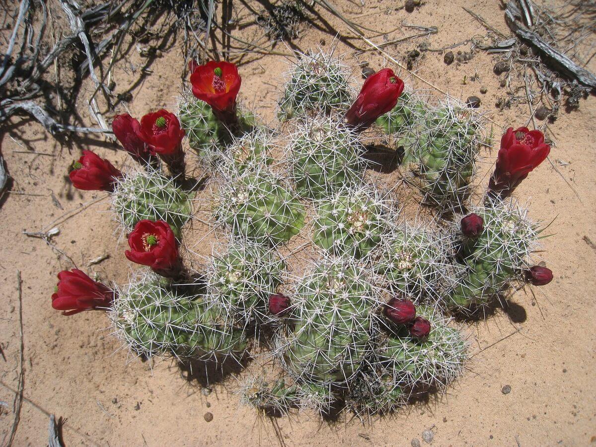 kingcup cactus