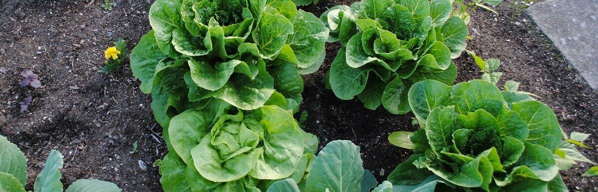 letttuce in garden