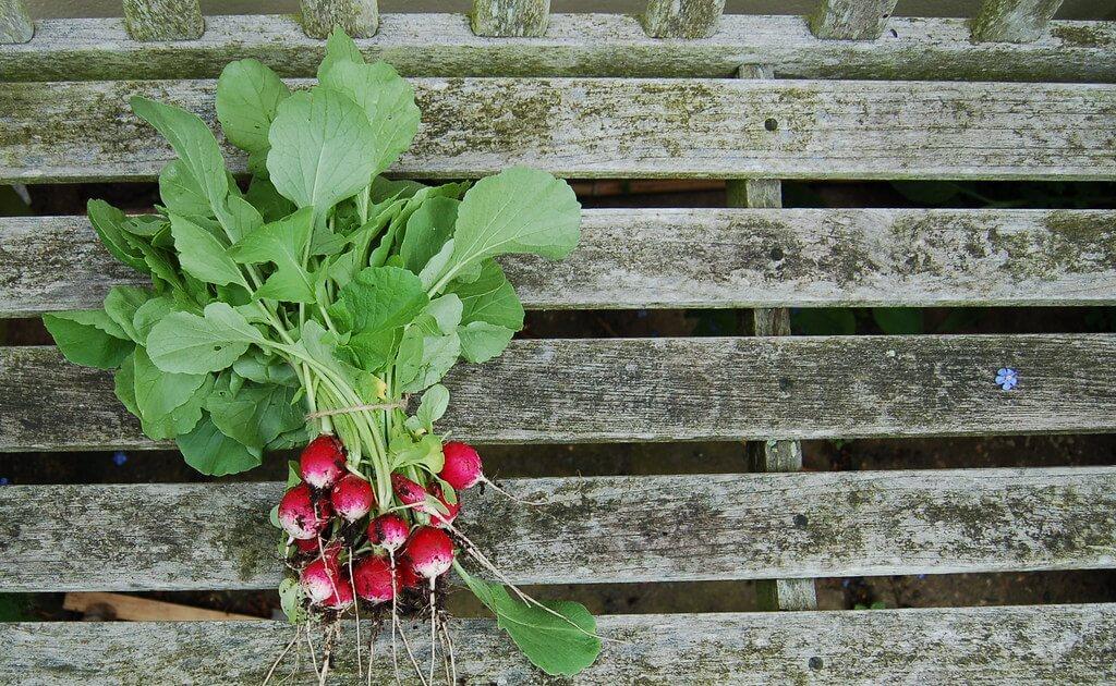 radishes on deck