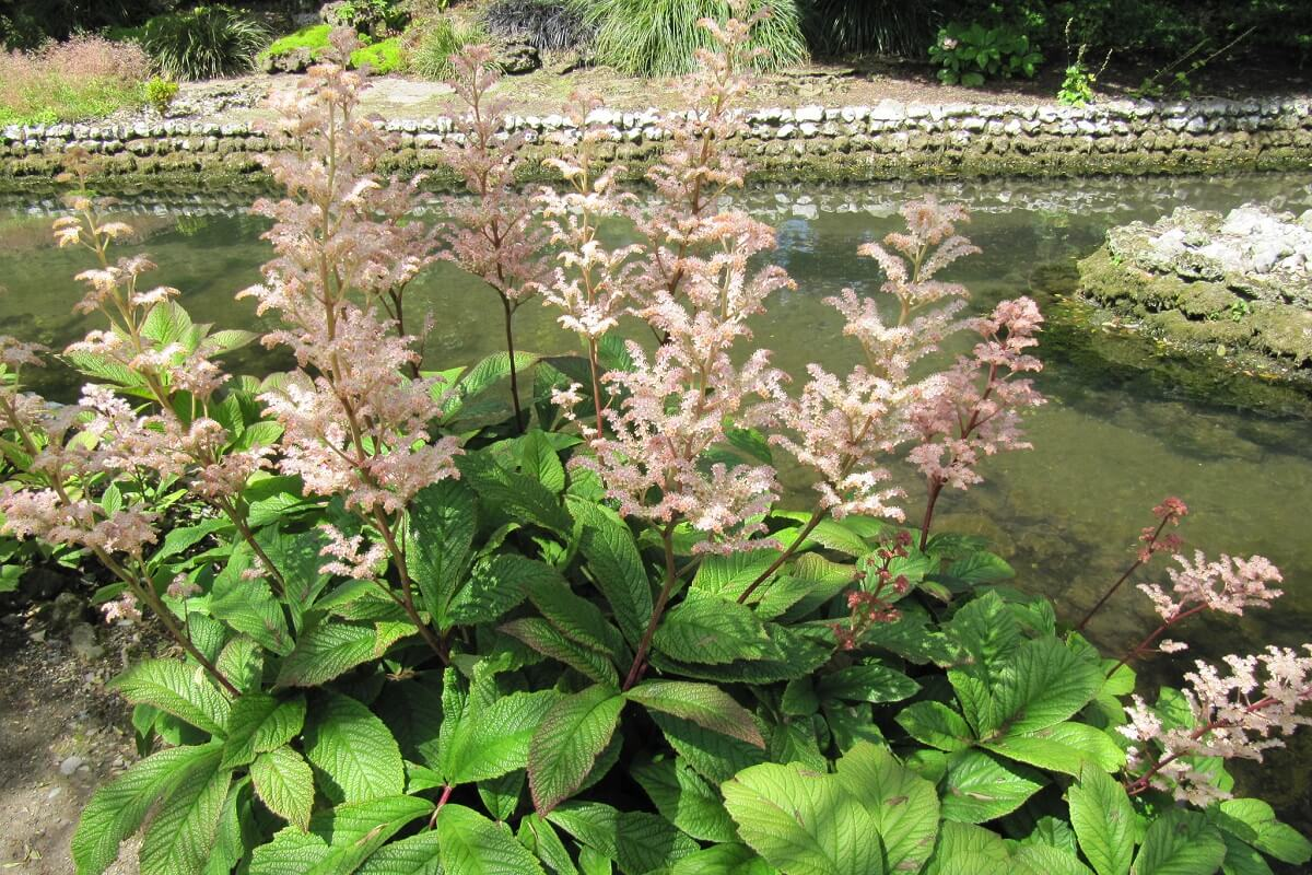 rodgers flower on pond edge
