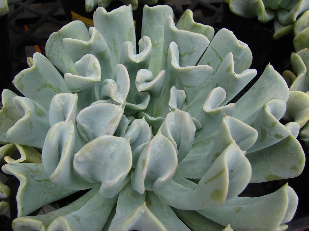 tospy turvy succulent