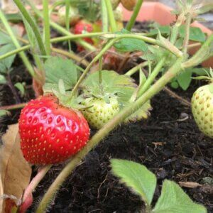 strawberry in planter