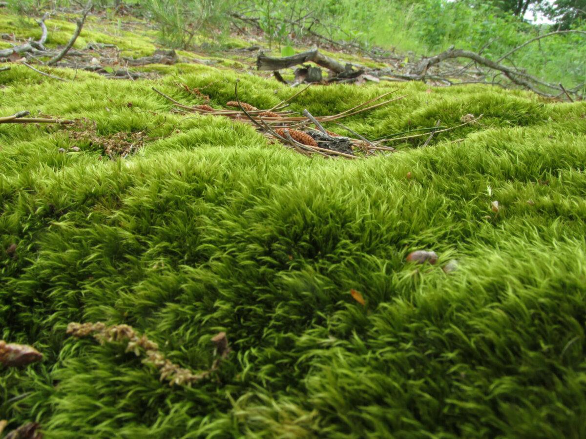 mossy hill