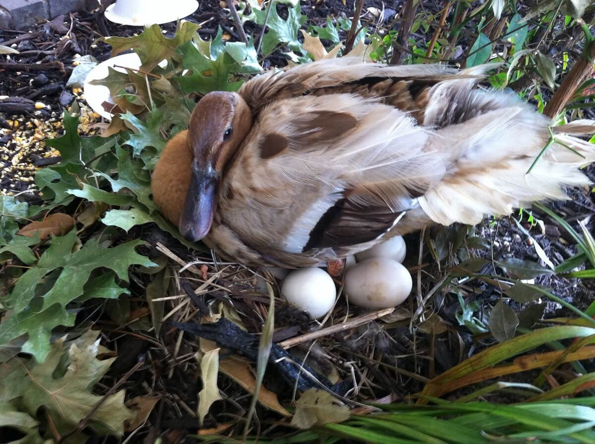 mama duck and eggs
