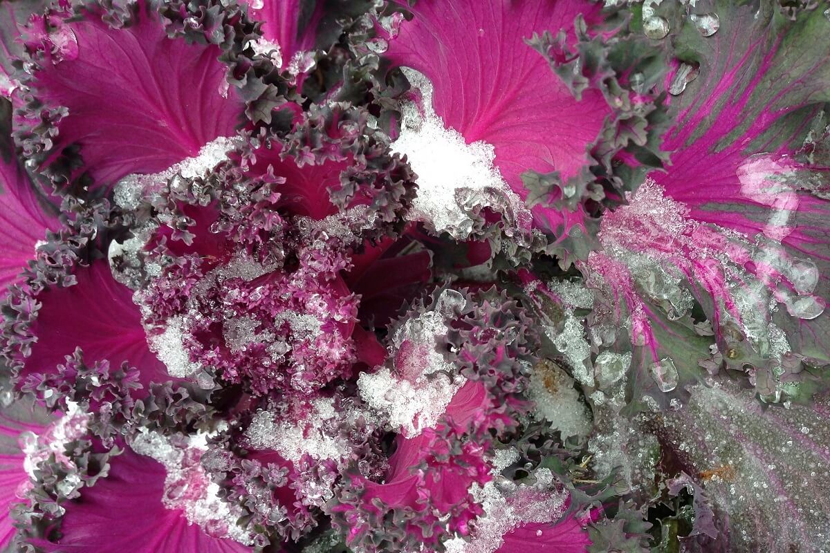 frosted purple kale